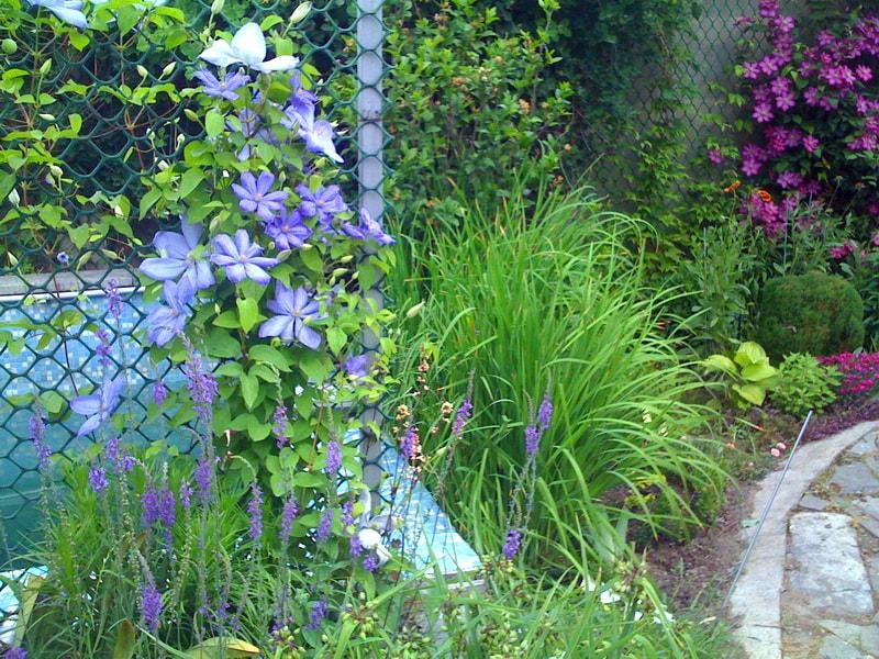 Выращивание клематис в саду 184