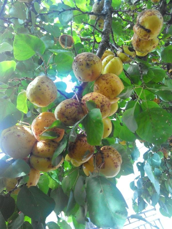 абрикос посадка и выращивание