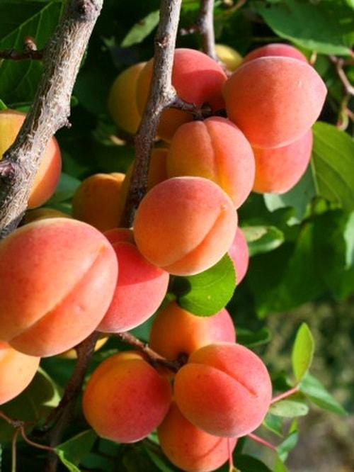 Выращивание абрикоса в тамбове 49