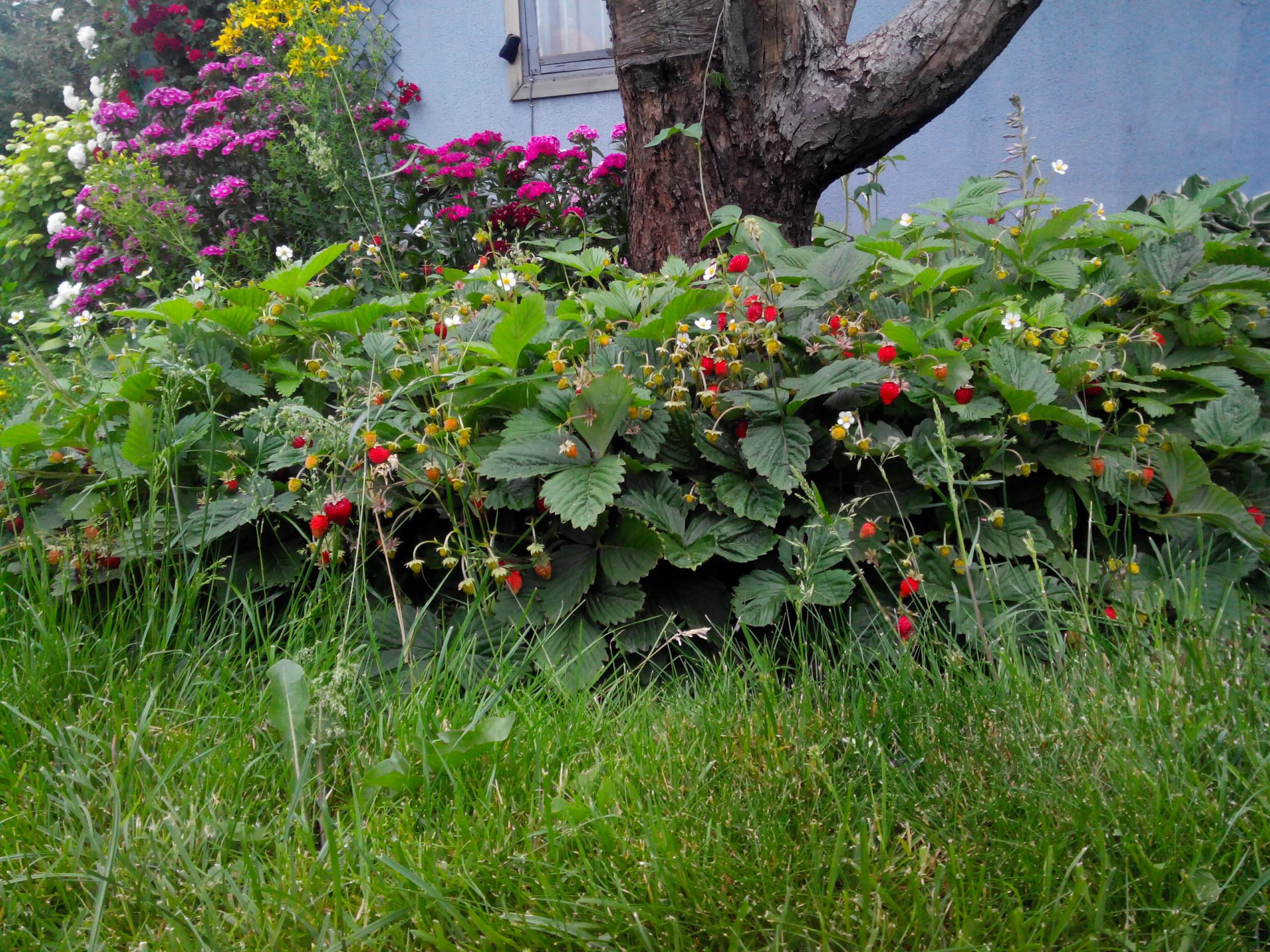 Клубника садовая безусая сорта