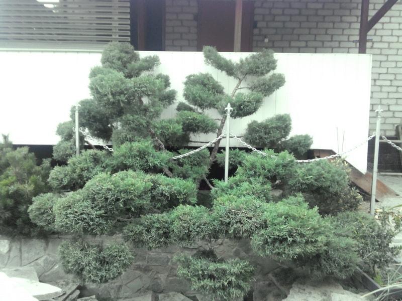 садовый бонсай из можжевельника своими руками