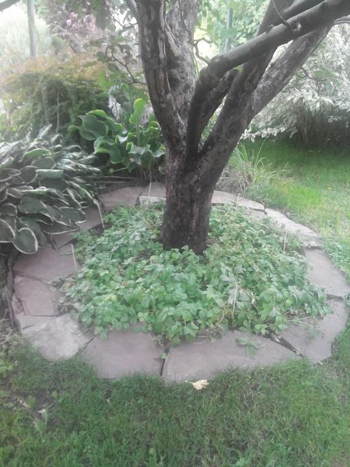 плитняком в приствольном круге дерева