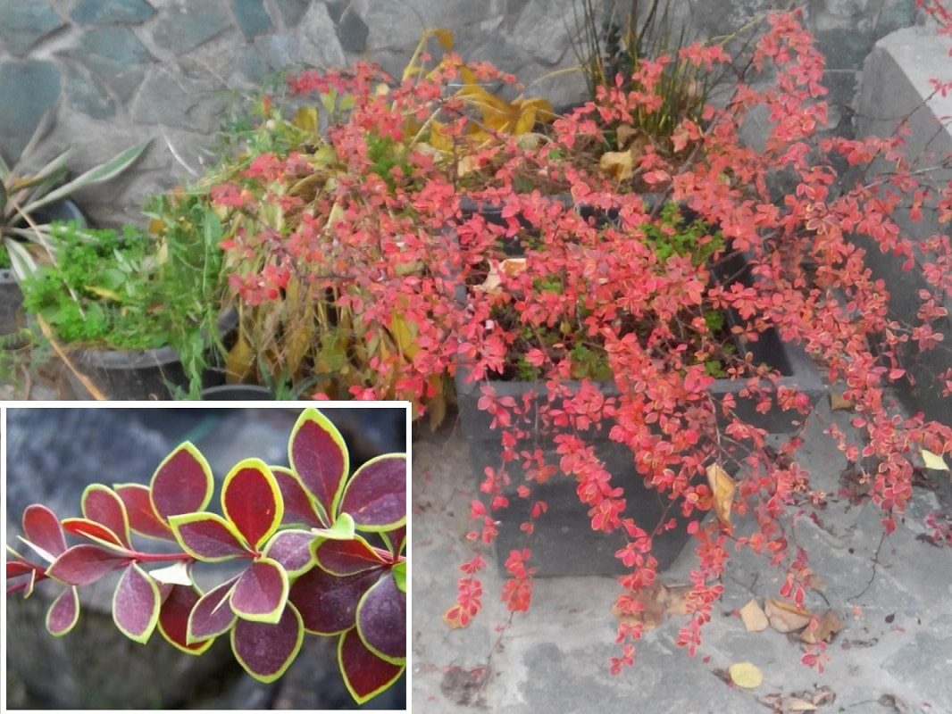 Как сажать кусты барбариса осенью 24