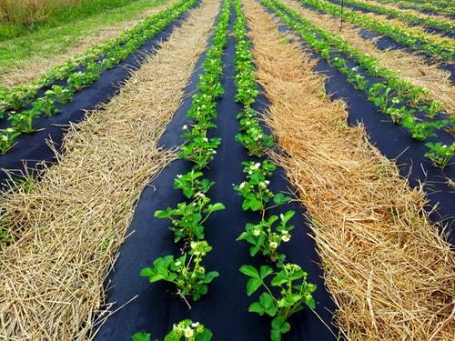 Ремонтантная земляника выращивание и уход обрезка 60