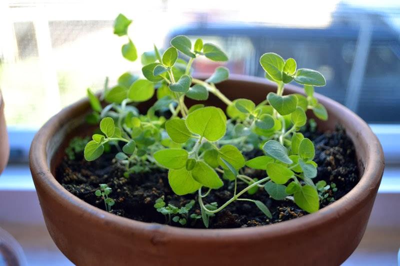 Душица выращивание и уход в домашних условиях 5