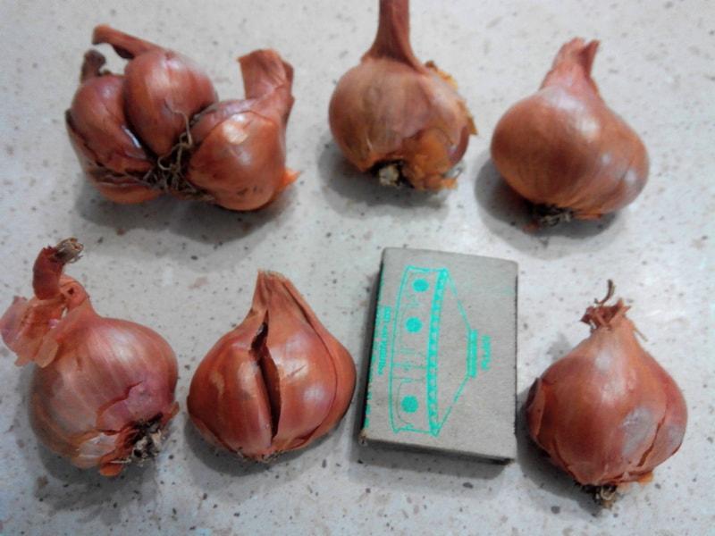 Лук-сорокозубка выращивание 96