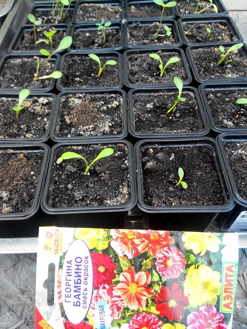 Выращивание георгинов из семян 491