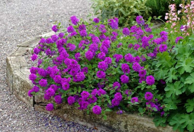 цветы вербена в саду