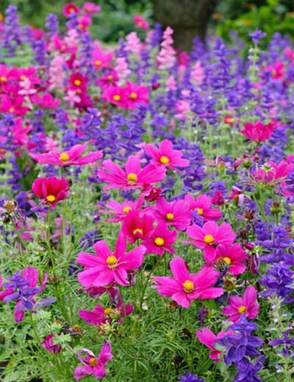 Цветок космея посадка и уход