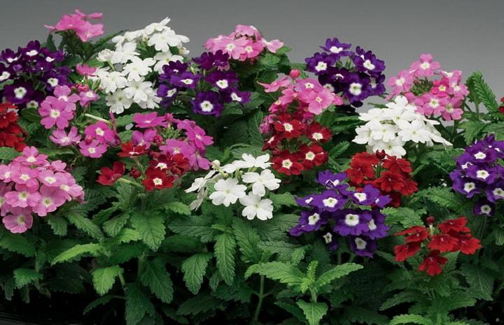 Вербена цветы выращивание из семян