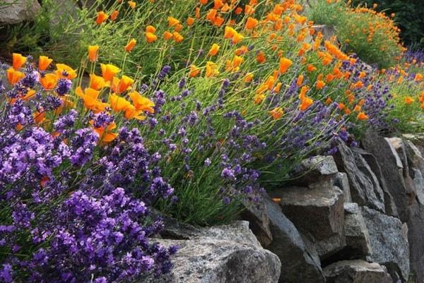 эшшольция фото цветов в клумбе идеи