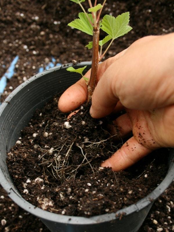 Выращивание черенками черную смородину 282