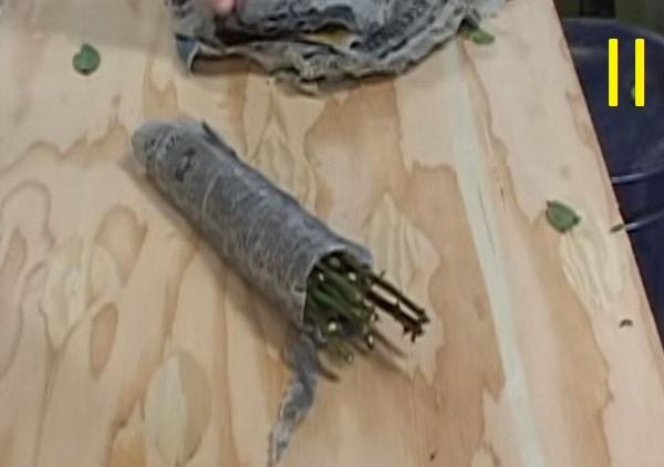 проращивание черенков роз в газете