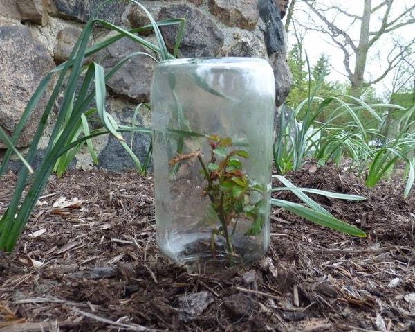 размножение роз черенками в грунте