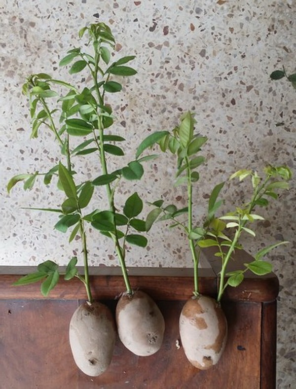 Роза в картошке способ выращивания видео