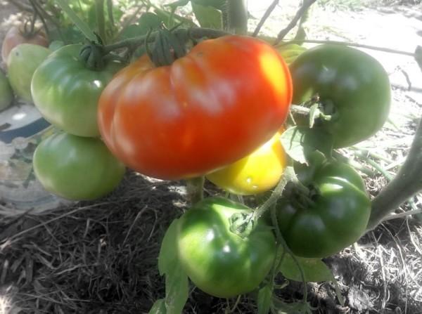 Выращивание томатов в природном земледелии