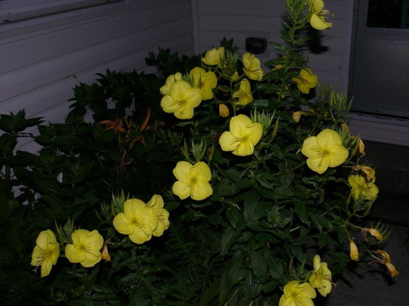 Лунник цветок с фото желтый