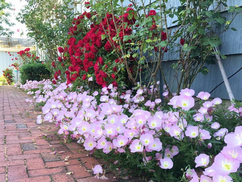 Выращивание энотера розовая 69