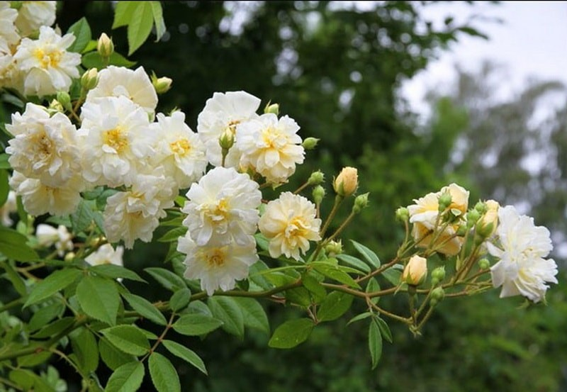 Сорт роз рамблеры сорта