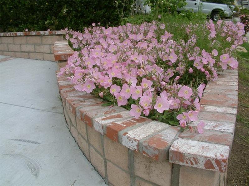 Выращивание энотера розовая 58