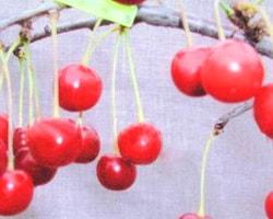 вишня малиновка описание сорта фото отзывы