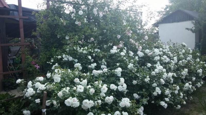 роза шраб аспирин роуз