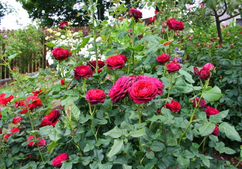 роза шраб астрид графин фон харденберг