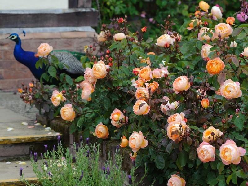 роза шраб леди эмма гамильтон