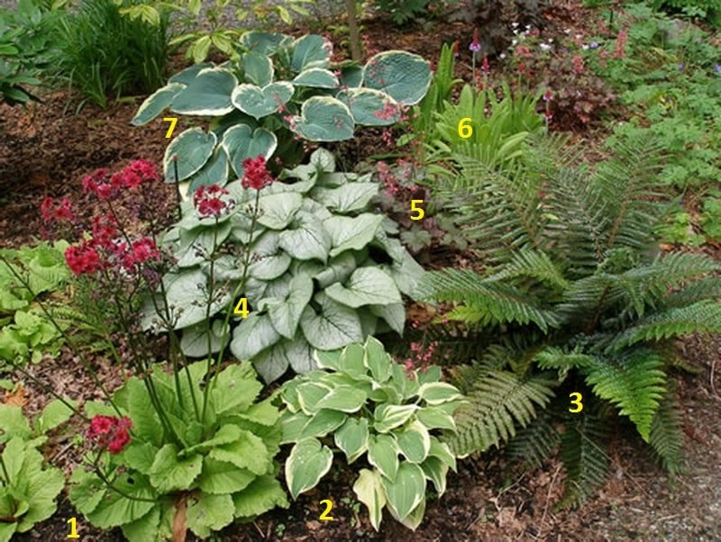 бруннера сочетаемость с другими растениями