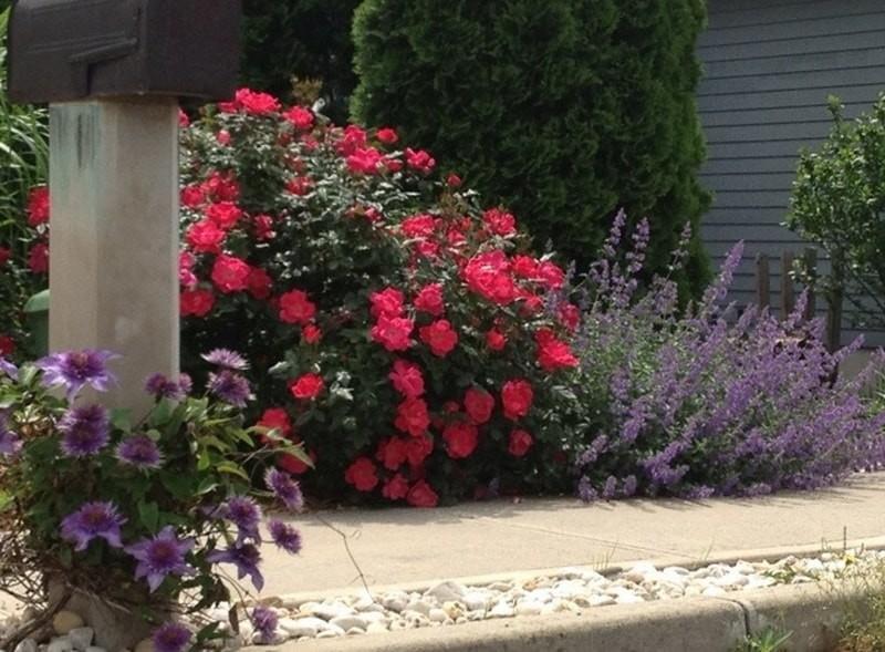 розы шрабы фото