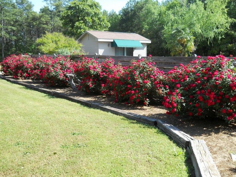 розы в природном земледелии