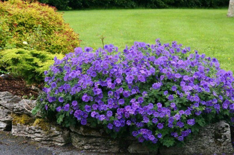 герань садовая великолепная