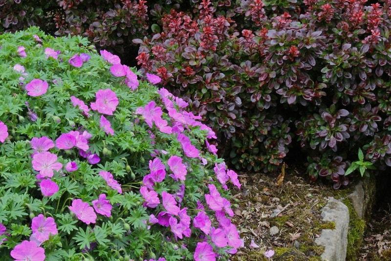 Герань садовая многолетняя сорта выращивание уход 55