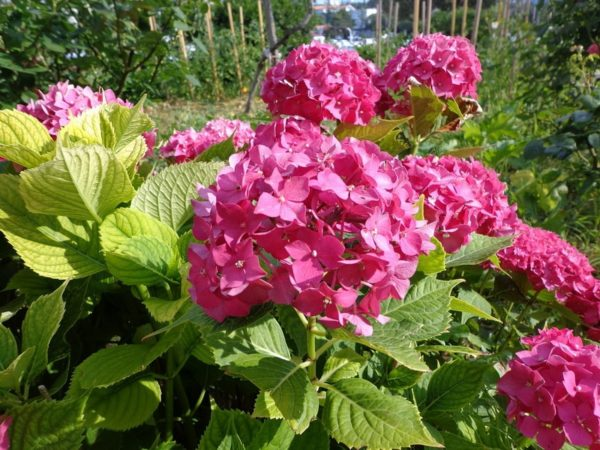 все о гортензии садовой