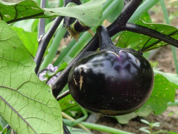 агротехника баклажанов в открытом грунте