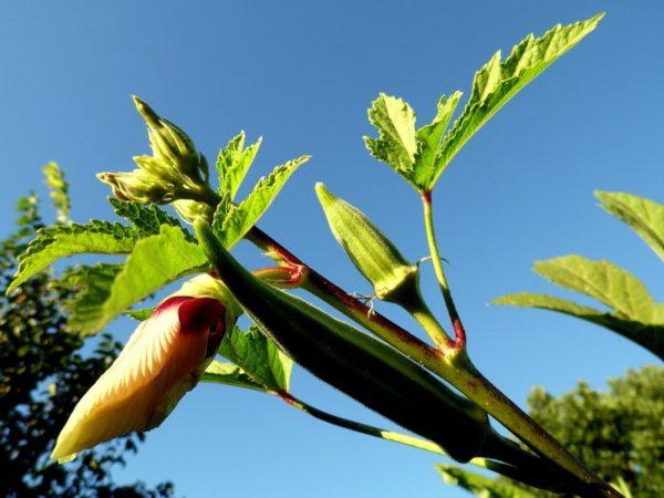 бамия выращивание в открытом грунте