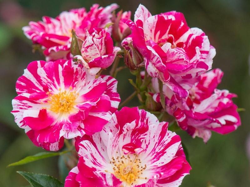 Роза страйпс-энд-страйпс