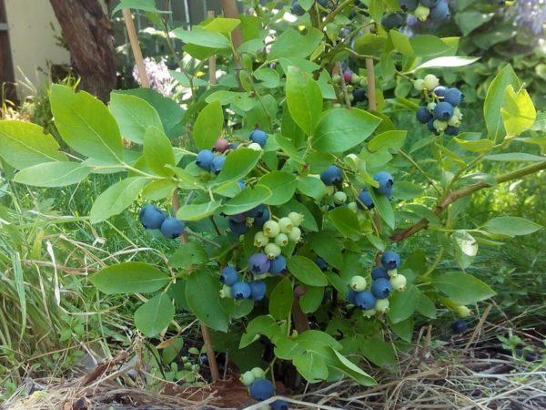 садовая голубика агротехника выращивания