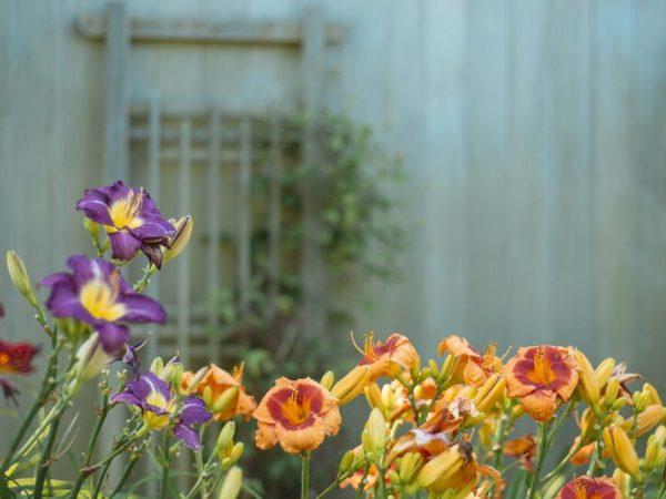садовые многолетники