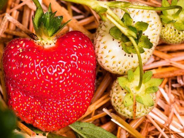выращивание земляники садовой