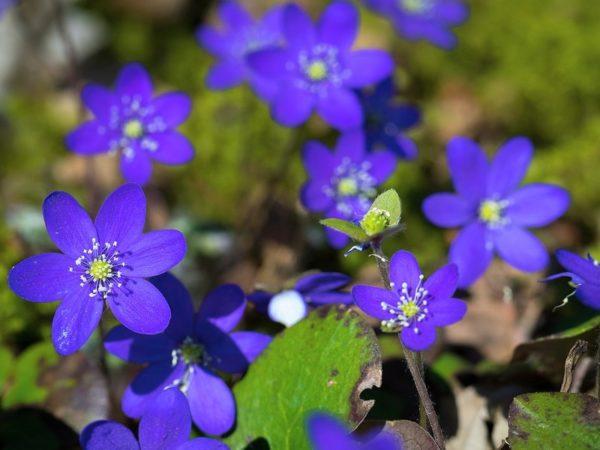 цветок печеночница (фото и описание)