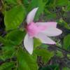 magnoliya-posadka-i-uhod.jpg