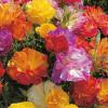 Эшшольция: выращивание и уход