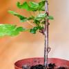 Как сохранить черенки смородины до весны