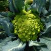 Романеско - полезные и опасные свойства капусты романеско