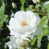 Кустовые розы белого цвета