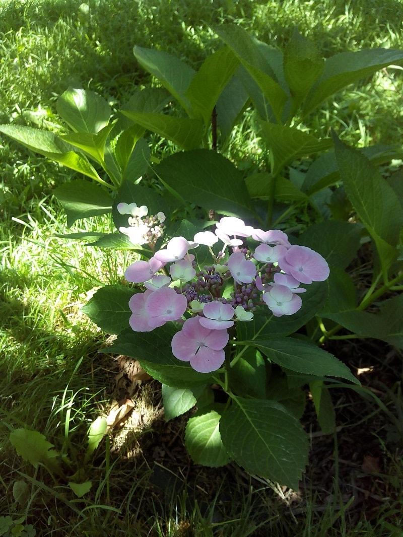 гортензия фото цветов садовая