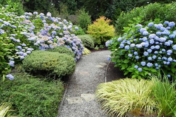 гортензия садовая голубая