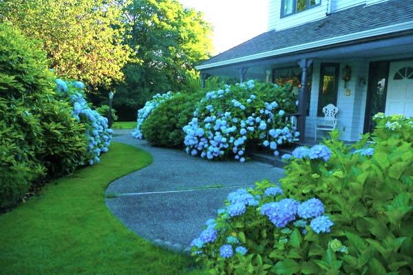 гортензия уличная голубая в дизайне сада