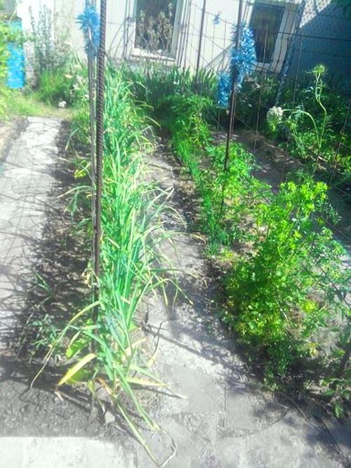 выращивание зимнего чеснока